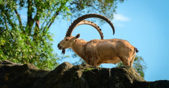 Caccia KRI KRI – Ibex in Macedonia