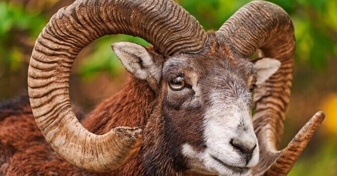 Caccia Mufloni in Macedonia